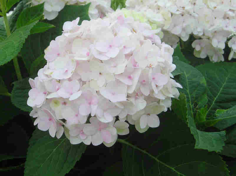 Hydrangeas | City Garden Ideas