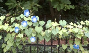 Blue flowers along a fence