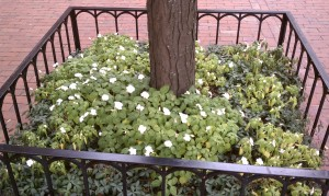 White pansies fill square, wrought iron fenced tree pit