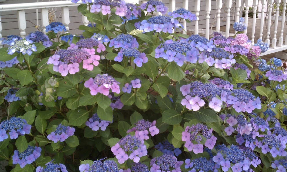 Blue and purple lacecap hydrangeas along a white rail fence