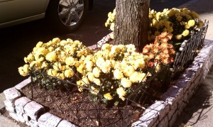 Yellow and rust colored mums around Maple tree trunk