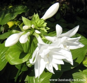 Fragrant white flowers of the Aphrodite hosta