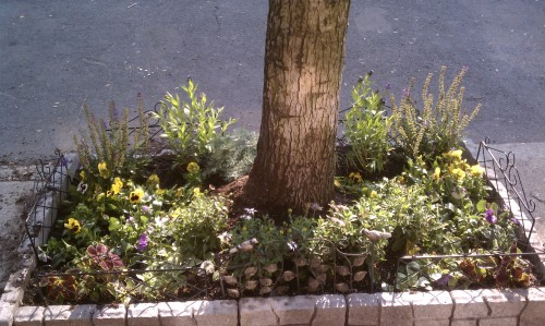 Amsonia Blue Star, Silver Mound and Coleus Added to Tree Pit Garden
