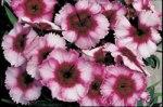 Dianthus Raspberry Parfait