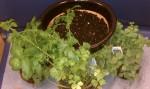 Basil, Parsley and Oregano and an awaiting pot