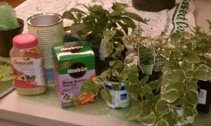 Vinca minor and fertilizers Osmocote and Blossom Booster