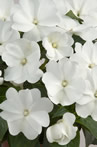 New Guinea Impatiens - Harmony Snow
