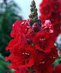 La Bella Red Snapdragon in bloom