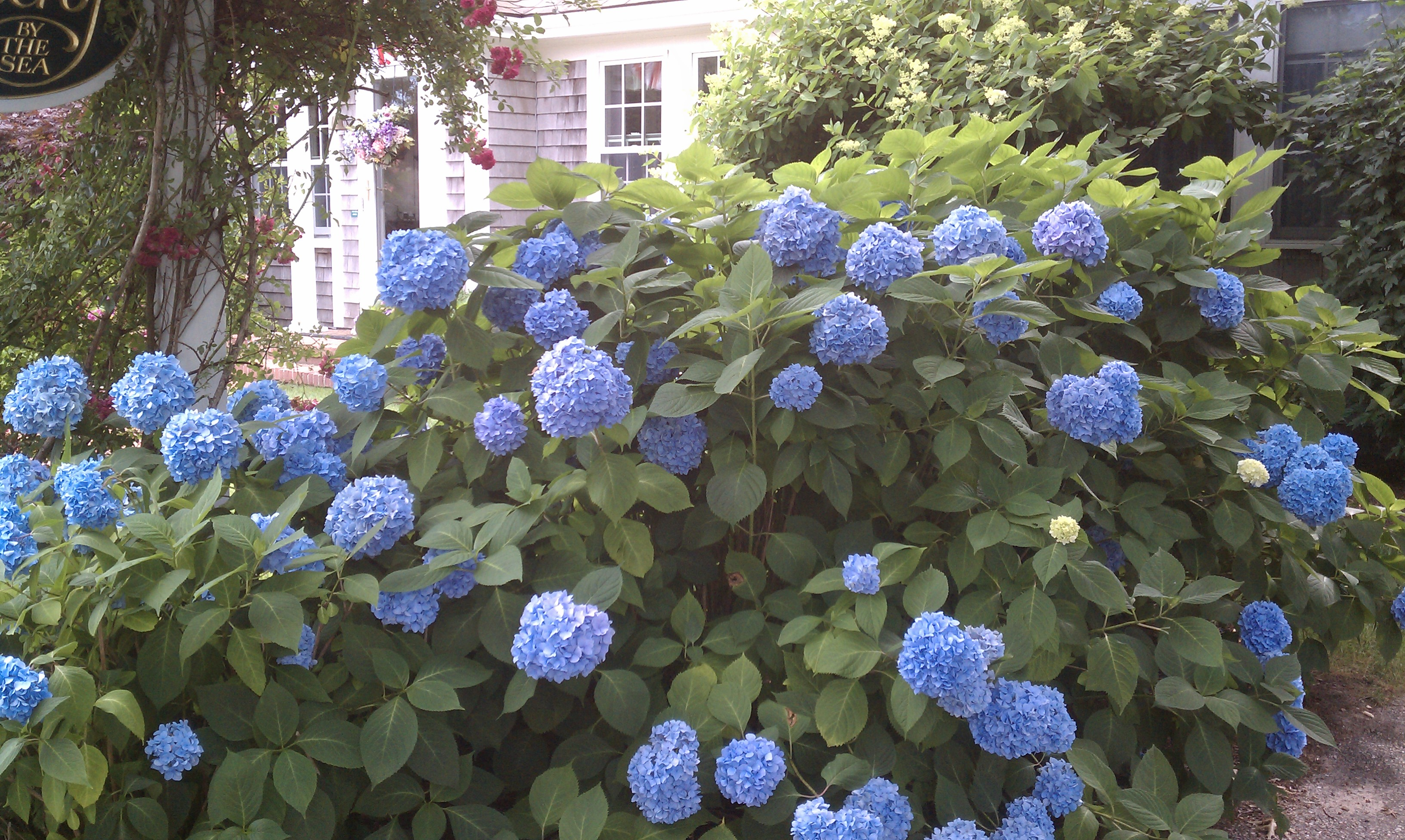 Hydrangeas – Nature's Gift to Cape Cod | City Garden Ideas