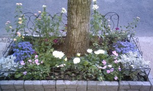 Street side garden with white dahlias in the front row