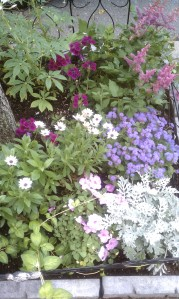 Dusty Miller silverdust, African daisies and verbena in Janine's street-side garden