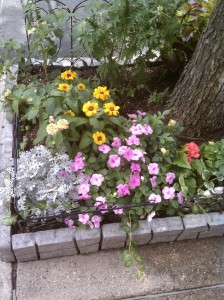 Garden View with Silverdust, Black-Eyed Susans, Dahlias, Lantana and more