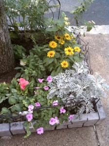 Garden abloom with silverdust, dahlias, impatiens, black eyed Susans, Lantana and more!