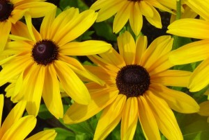 Black-eyed susans by Suzanne Gaff