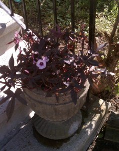 Purple flowering sweet potato vines in gray urn