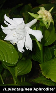 Aphrodite hosta with white flower