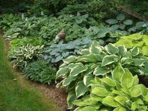 Leafy green hostas