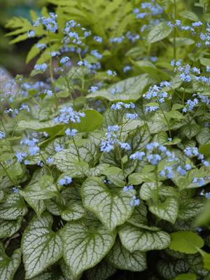 Green heart-shaped leaves with clusters of blue flowers