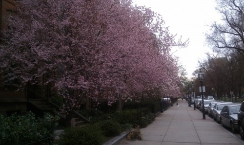 Magnolias along Commonwealth Avenue - March 2012