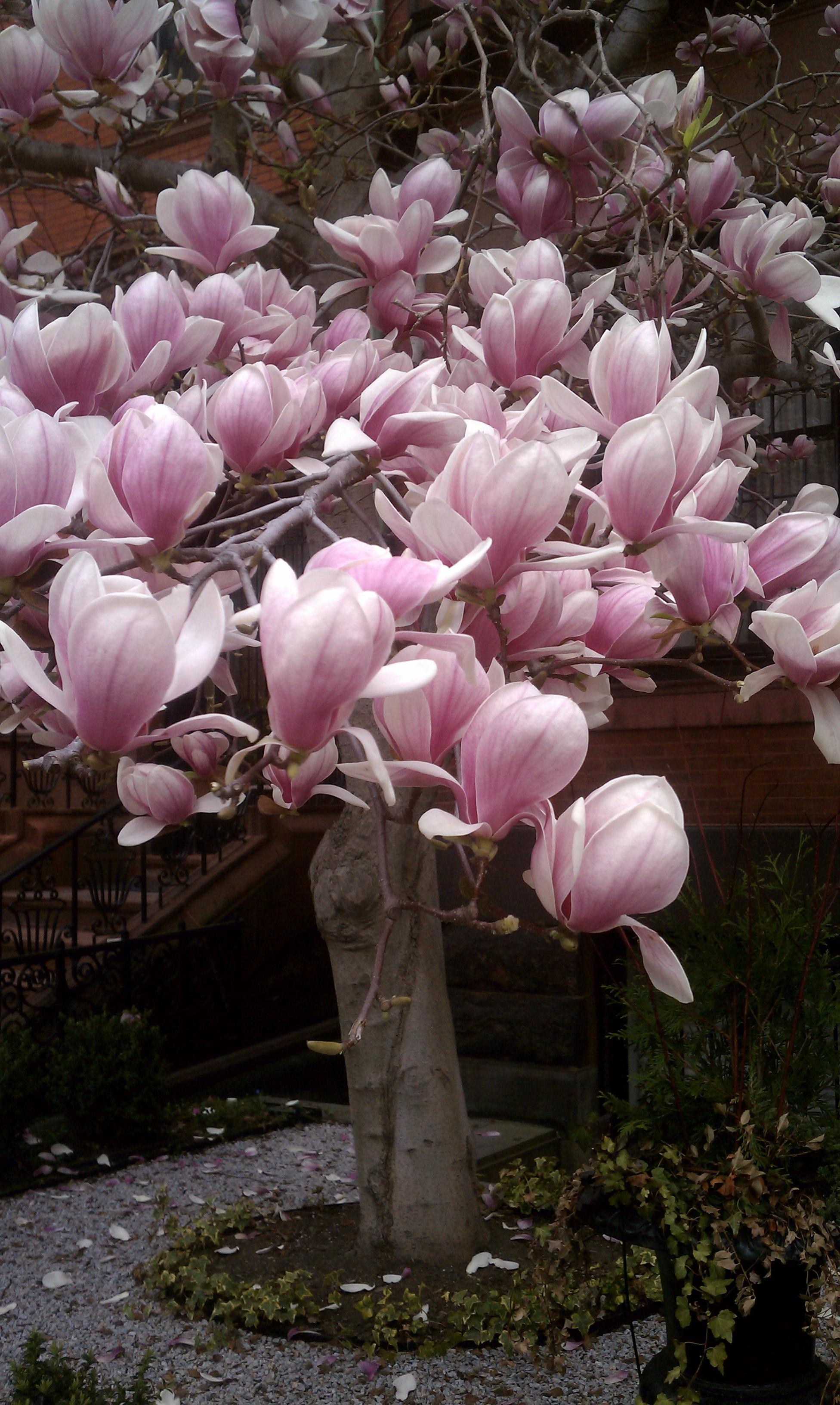 Magnolias In Bloom In Boston City Garden Ideas