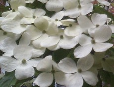 Flowering Dogwoods White Bright Beauties City Garden Ideas