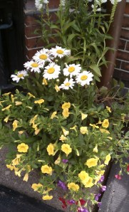 White Shasta Daisies and Yellow Petunias in Black Container