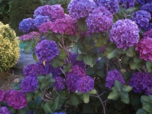 Purple Hydrangeas in Harwich, MA