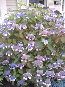 Lace Cap Hydrangeas