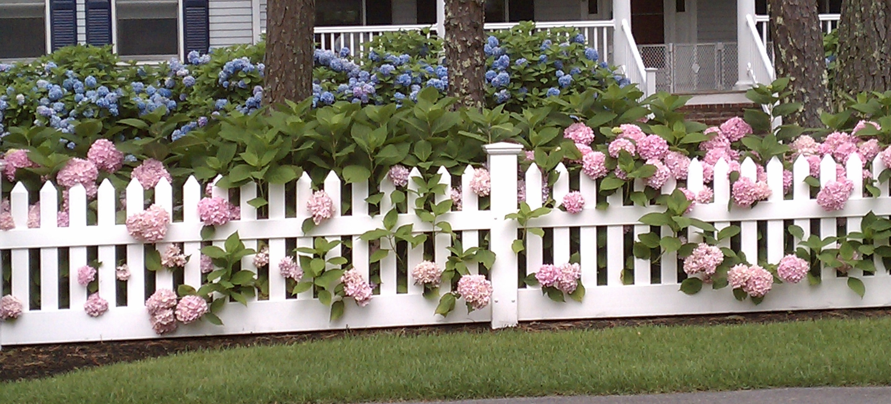 pink and blue hydrangeas along a white picket fence