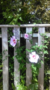 Rose of Sharon blooms through a wooden fence