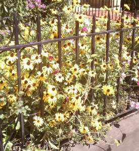 Black-eyed Susan's poking through a black iron fence