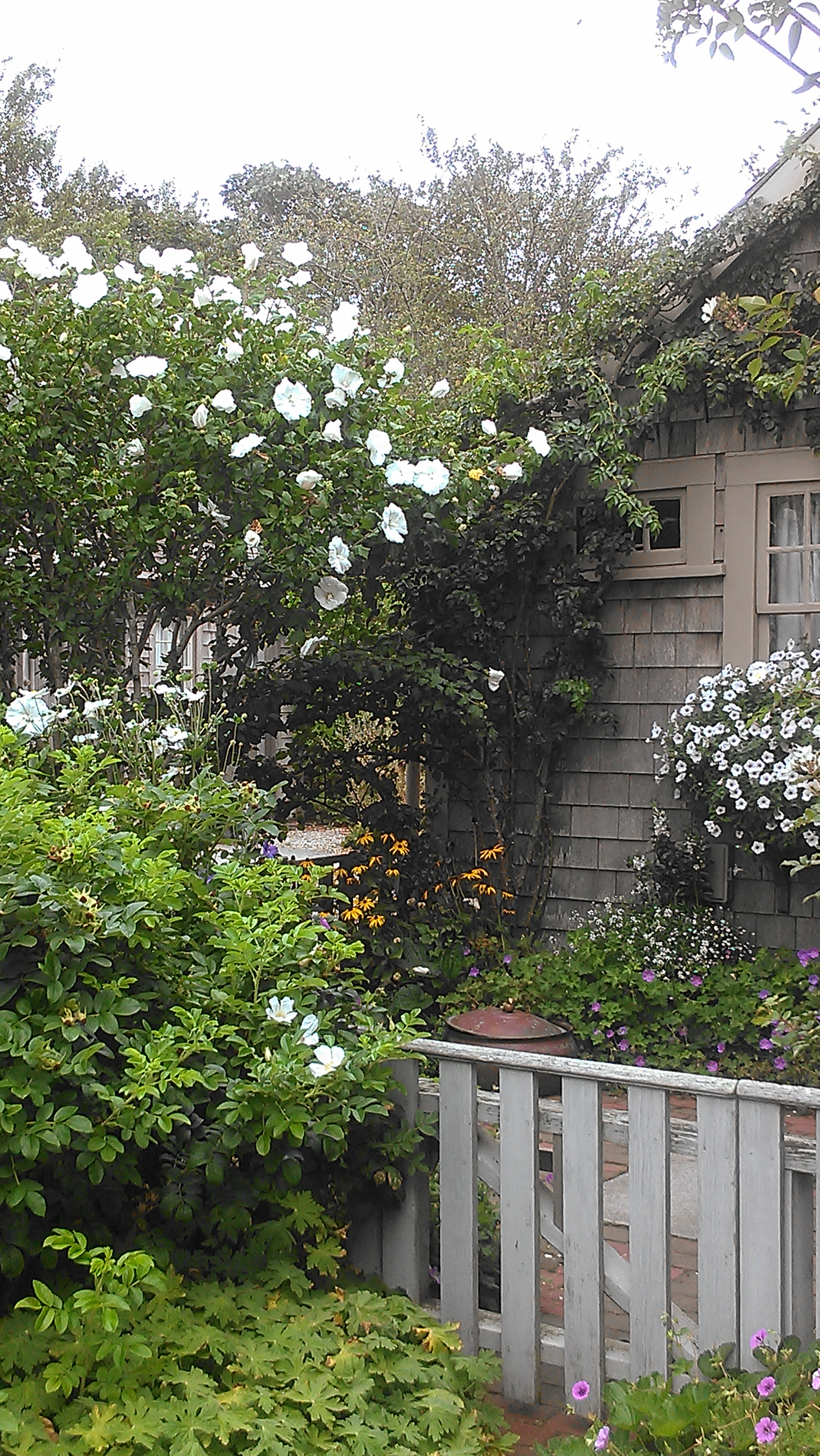 Rose of Sharon | City Garden Ideas