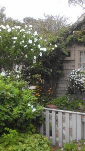 Rose of Sharon in 'Sconset