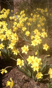 Yellow Daffodils Spouting